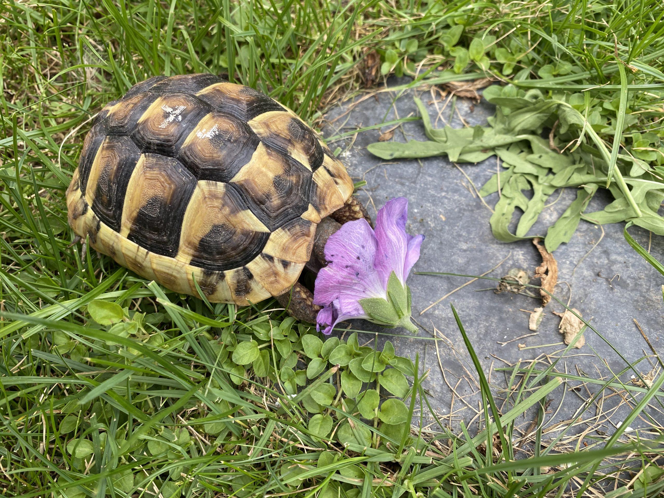 Griechische Babylandschildkröte versinkt in der Hibiskus Blüte