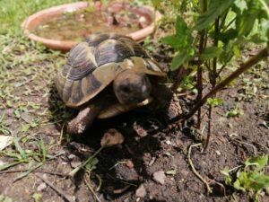 Griechische Landschildkröte versteckt sich unter der Minze