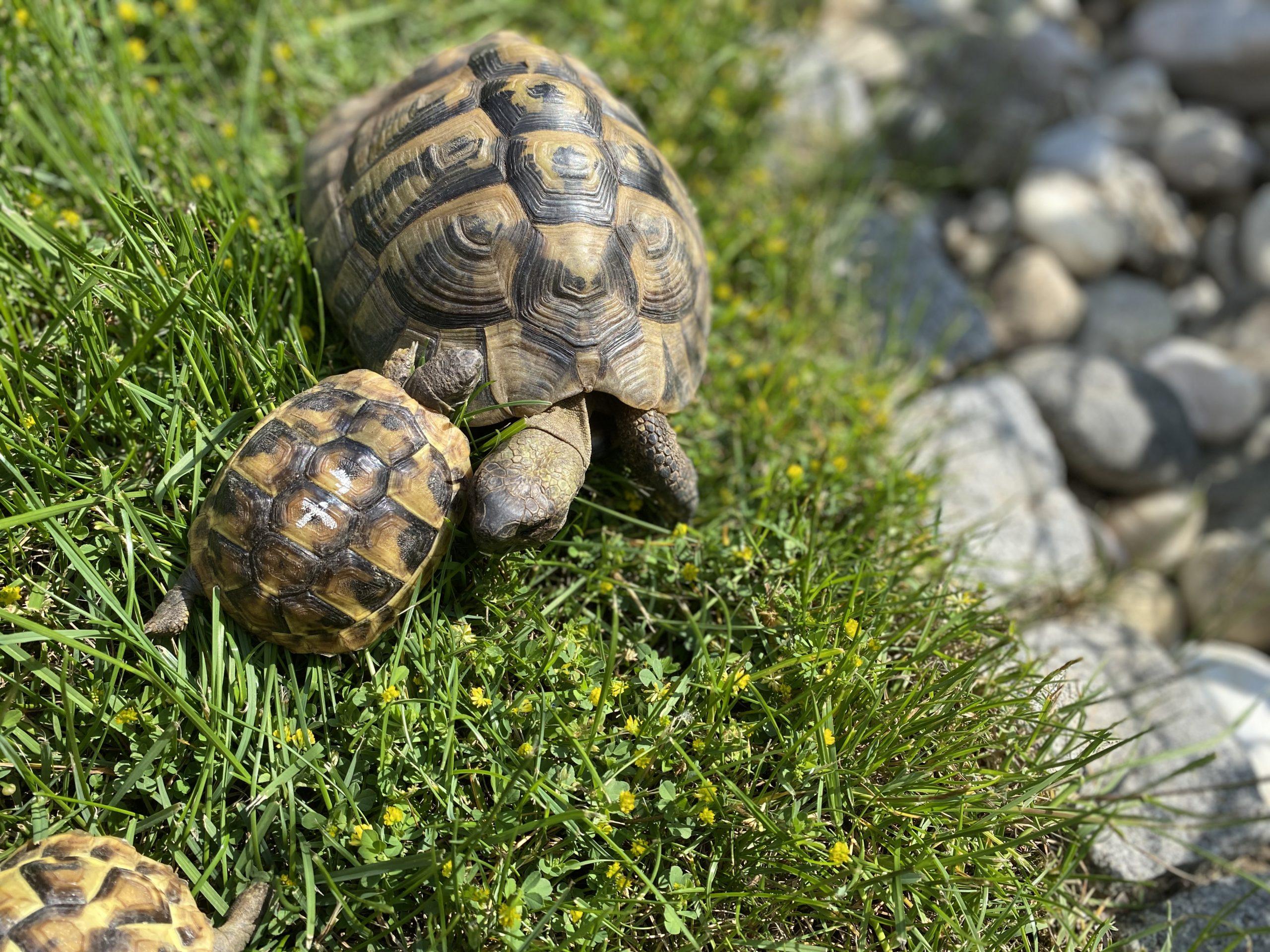 Griechische Landschildkröten - Papa und Baby
