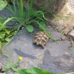 Griechische Landschildkröte NZ 2019 zu verkaufen