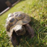Griechische Landschildkröten NZ 2002 zu verkaufen