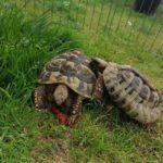 Griechische Landschildkröten NZ 2009