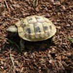 Griechische Landschildkröten NZ 2017 zu verkaufen
