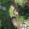 Griechische Landschildkröten 5er Gruppe alle über 20 Jahre alt