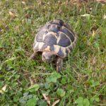 Griechische Landschildkröten Testudo hermanni NZ 2014