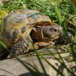 Russische Landschildkröte vermisst