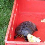 Schmuckschildkröte in Großhansdorf 10.08.2020