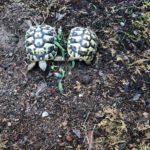 Schildkröte vermisst