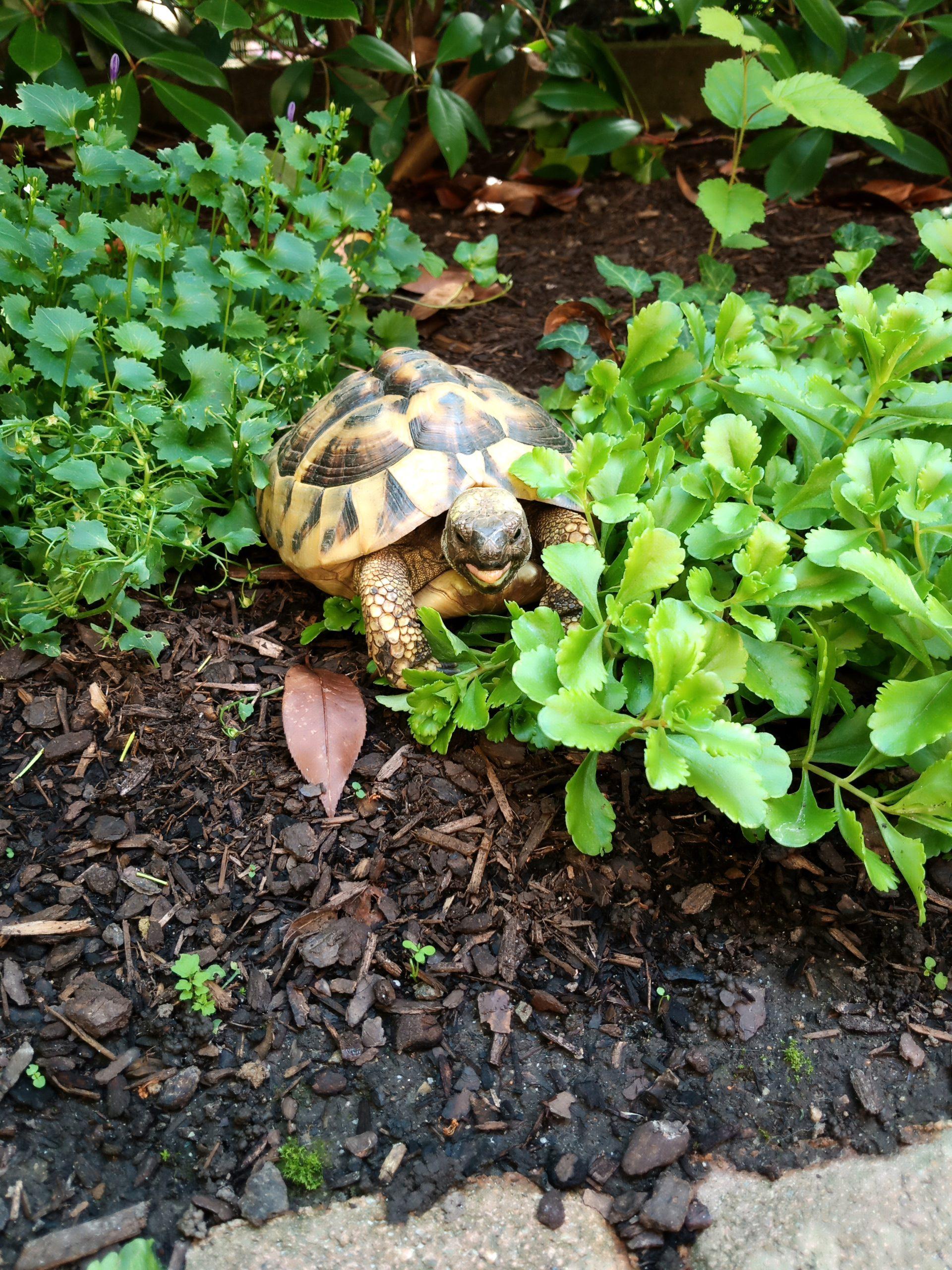 Griechische Landschildkröte beim Futtern