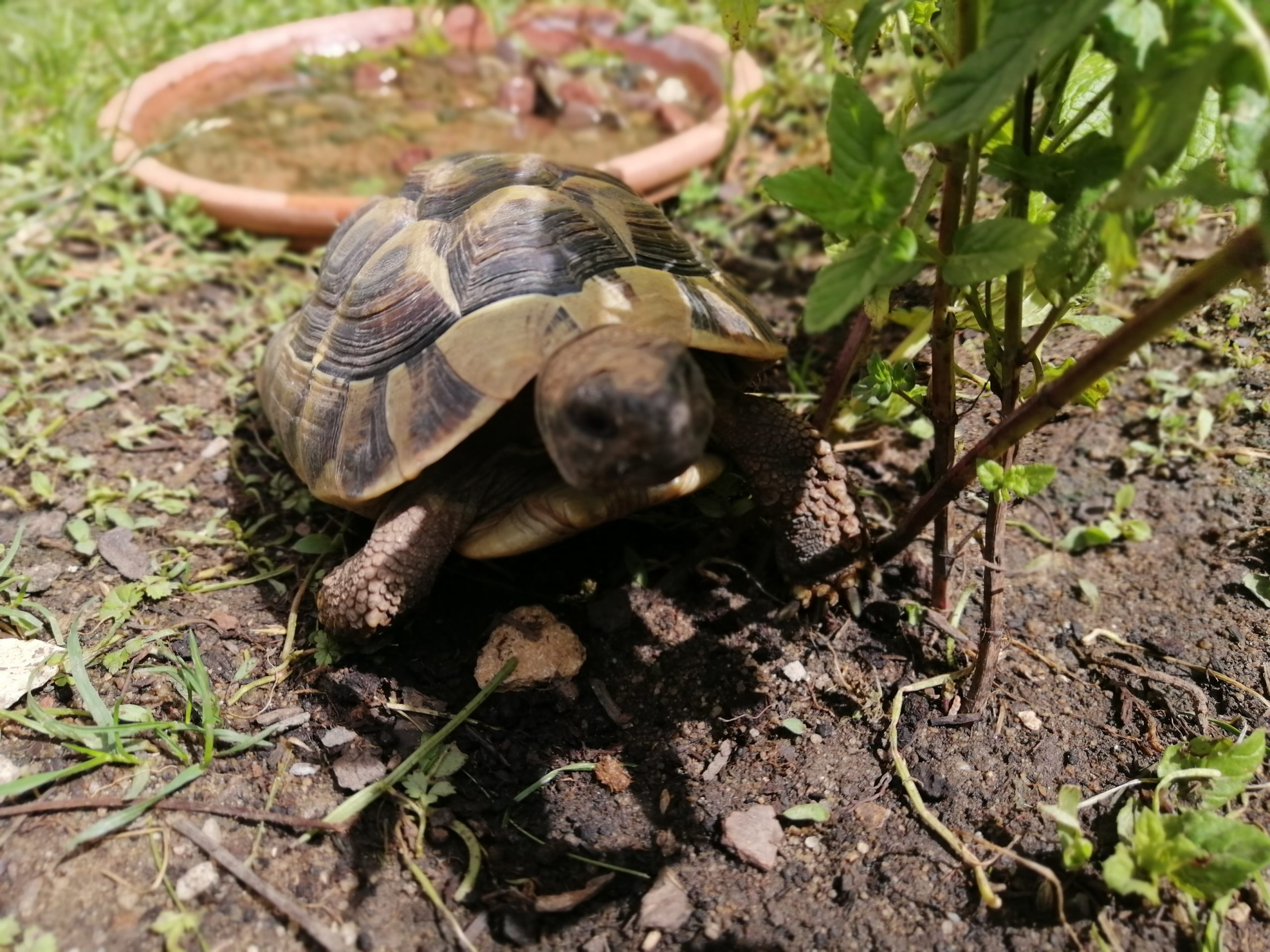 Griechische Landschildkröte Lena genießt die warme Mittagssonne ️