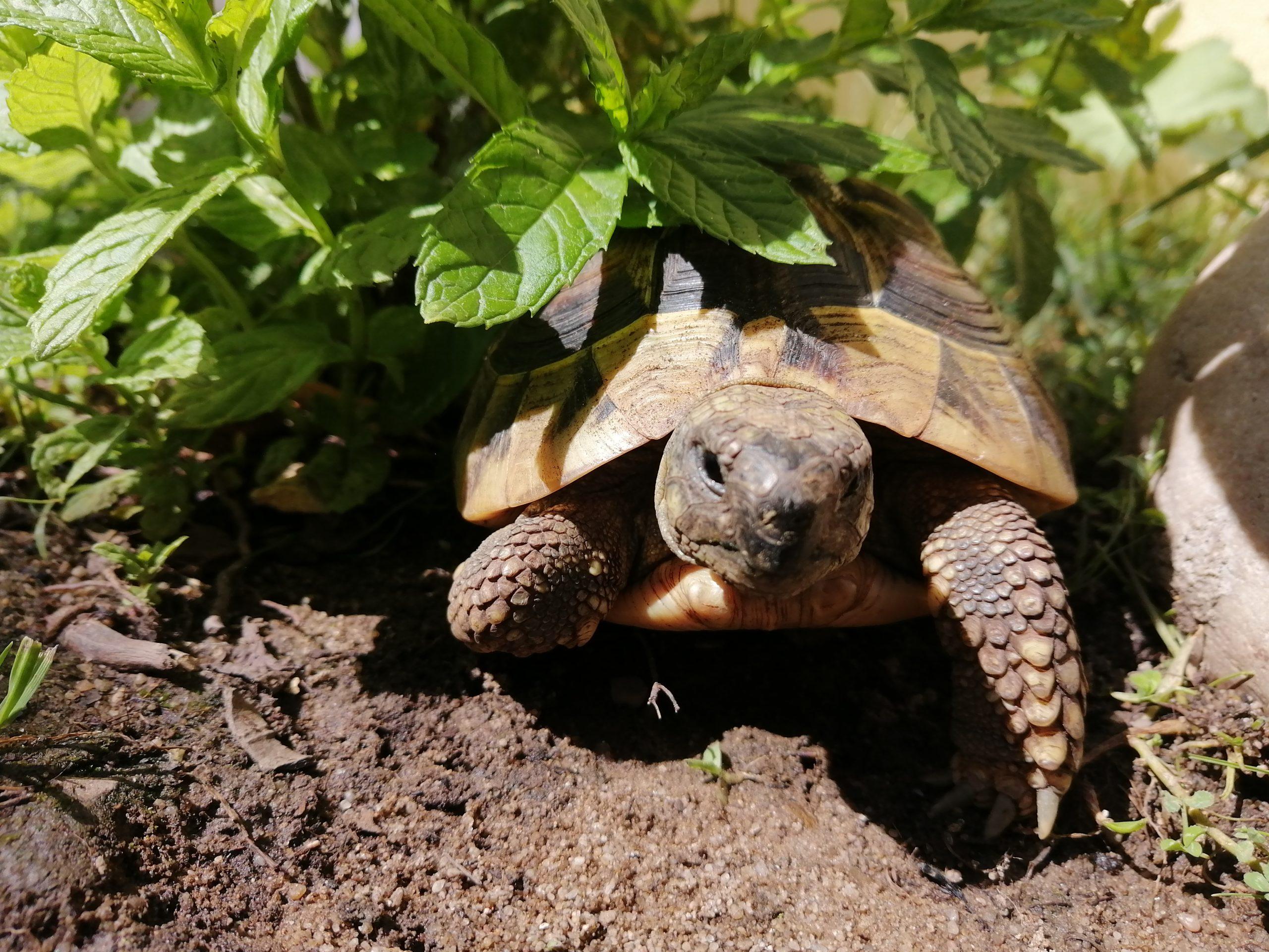 Griechische Landschildkröte versteckt sich in der Minze
