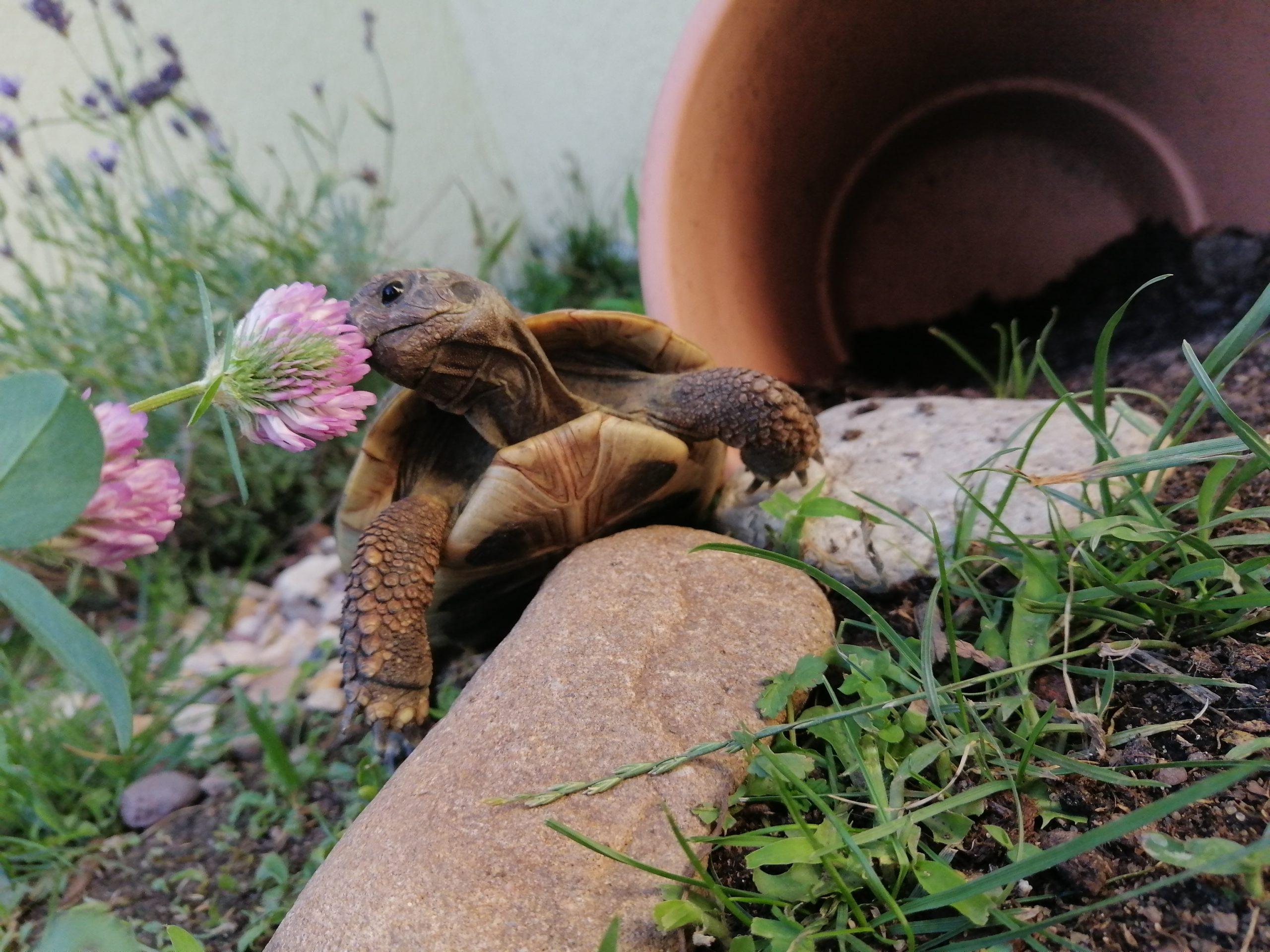 Griechische Landschildkröte frisst Klee