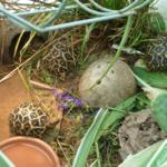 Indische Sternschildkröten, NZ 2019 und 2020 zu verkaufen