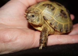 Kleine Nachzucht der Vierzehenschildkröte