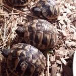 Landschildkröten Nachzucht 2020 zu verkaufen