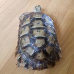 Maurische Landschildkröte ca. 8 Jahre alt Männlich