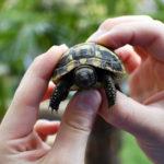 Minischildkröten, kleine Landschildkröten