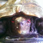 Indische Dornschildkröte (Cuora mouhotii mouhotii) entlaufen