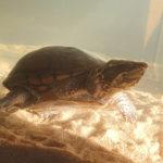 Wasserschildkröte entlaufen