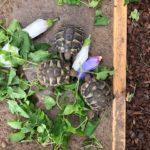 Griechische Landschildkröten Testudo hermanni NZ 2019 zu verkaufen
