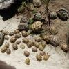 Junge Griechische Landschildkröten NZ 2020 zu verkaufen