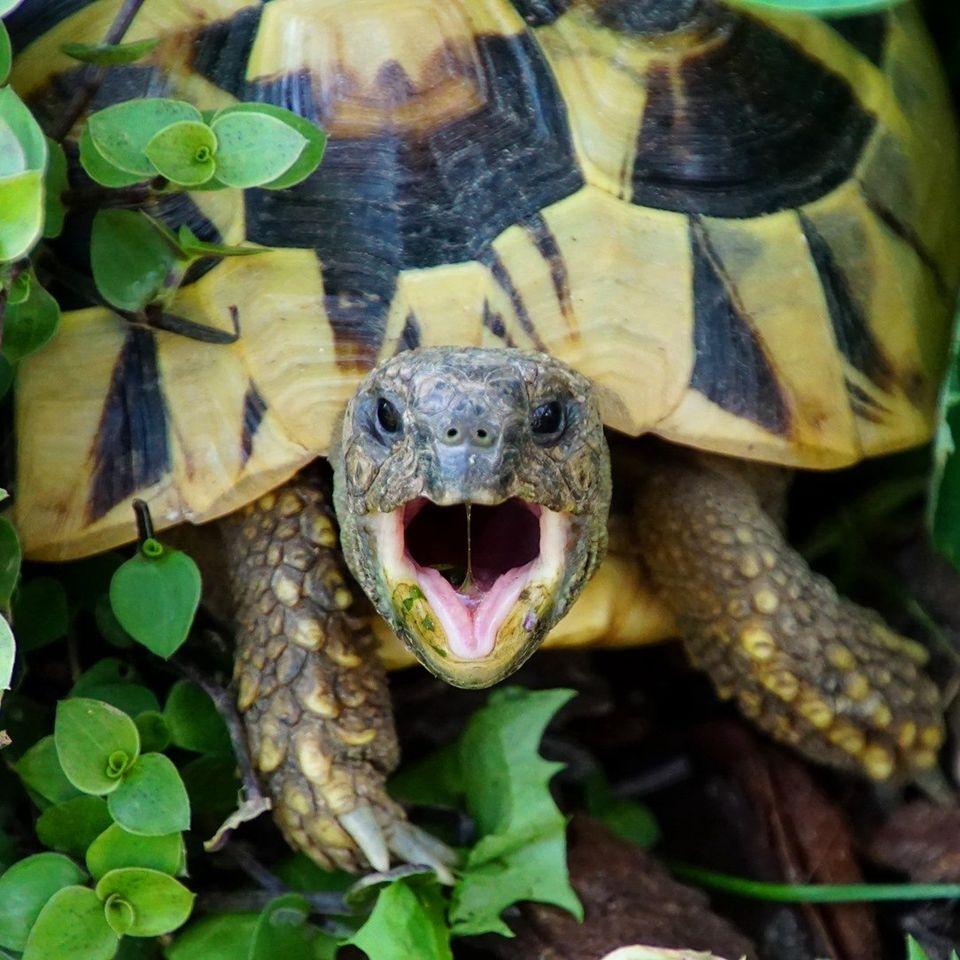 Griechische Landschildkröte 'Patty' im Freigehege