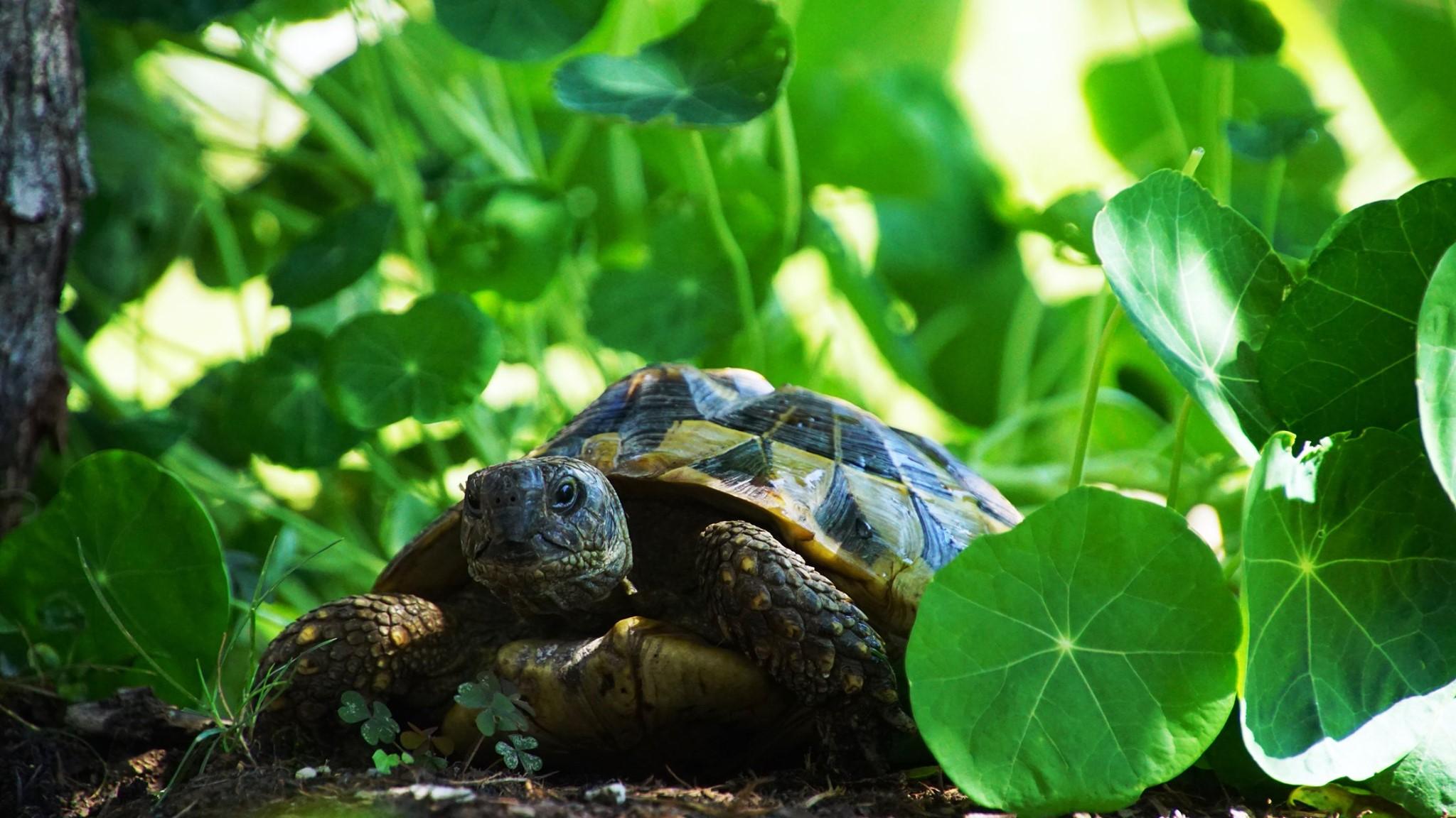 Henriette unter der Kapuzinerkresse, Griechische Landschildkröte