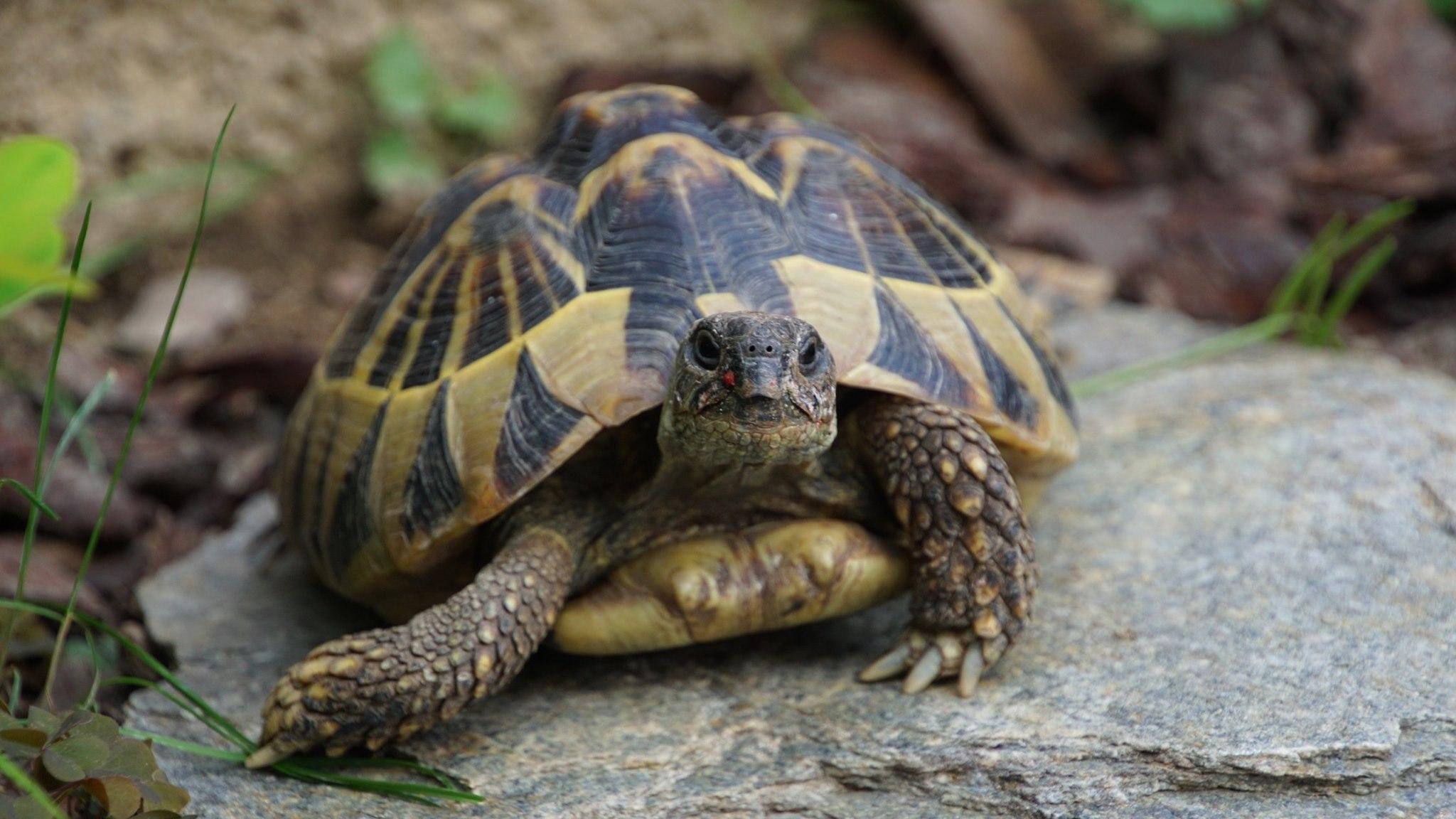 Griechische Landschildkröte 'Henriette' in ihrem Freigehege