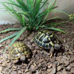 2 Griechische Landschildkröten 4 und 5 Jahre