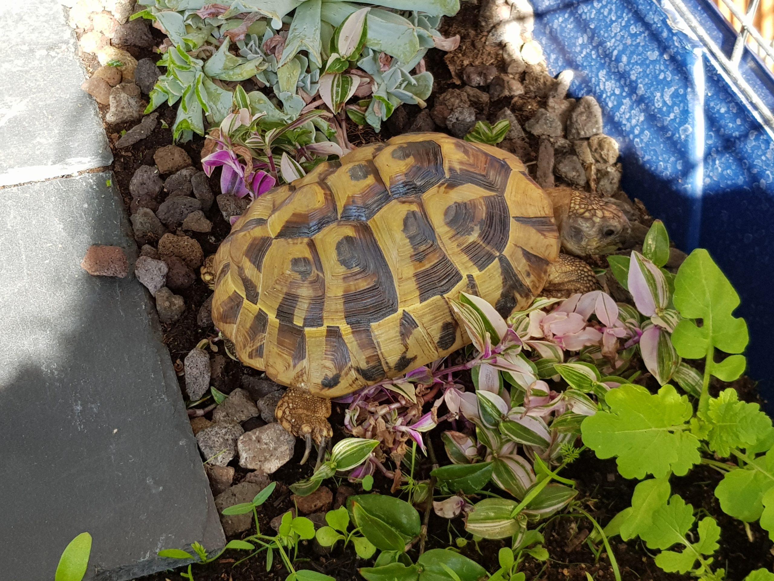 Unsere griechische Landschildkröte Pauline im Schildkröten-Schlaraffenland :)