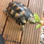 Breitrandschildkröte Testudo marginata geb. 2009 zu verkaufen