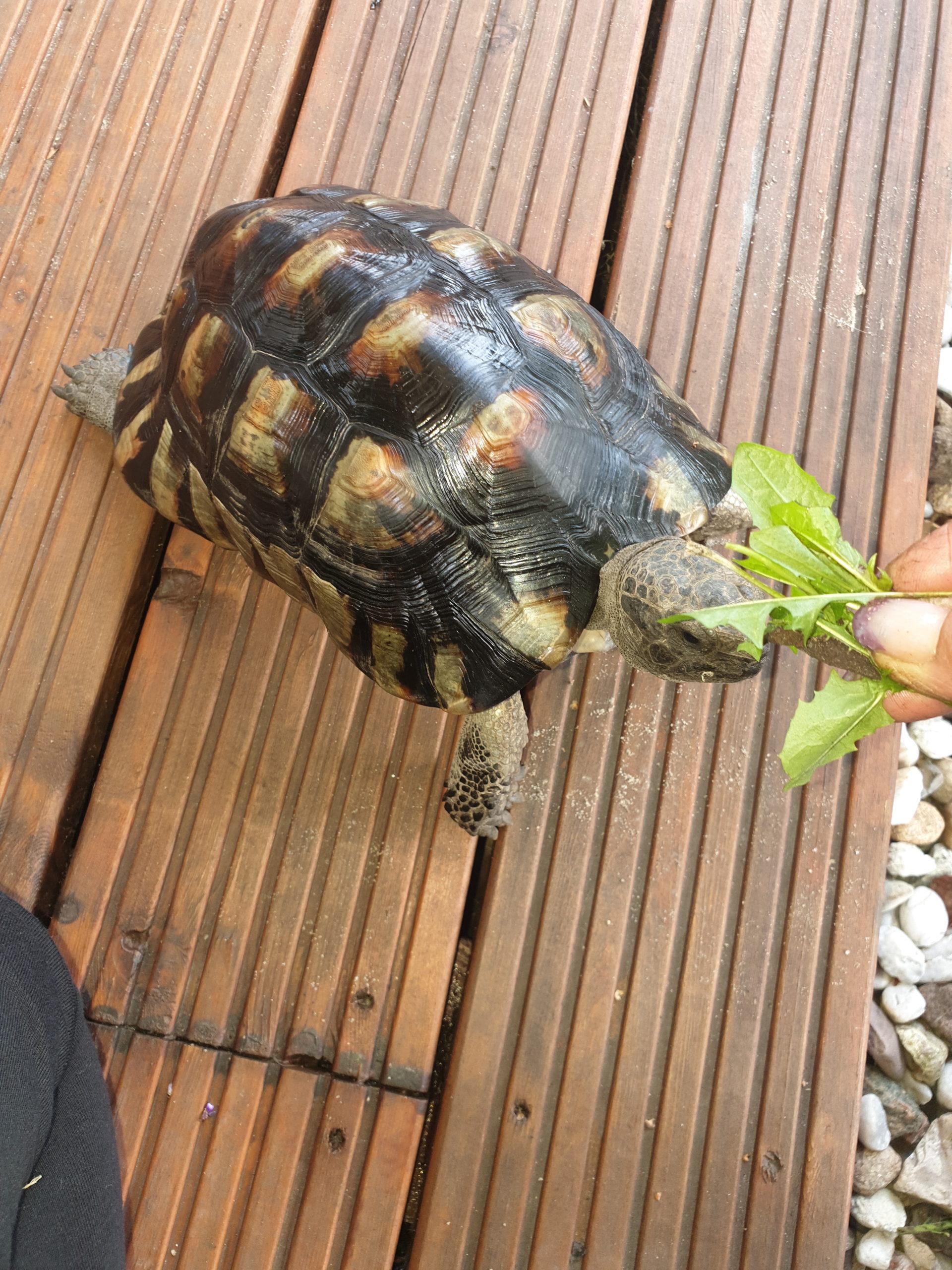 Breitrandschildkröte Testudo marginata folgt dir auf Schritt und Tritt für leckeres