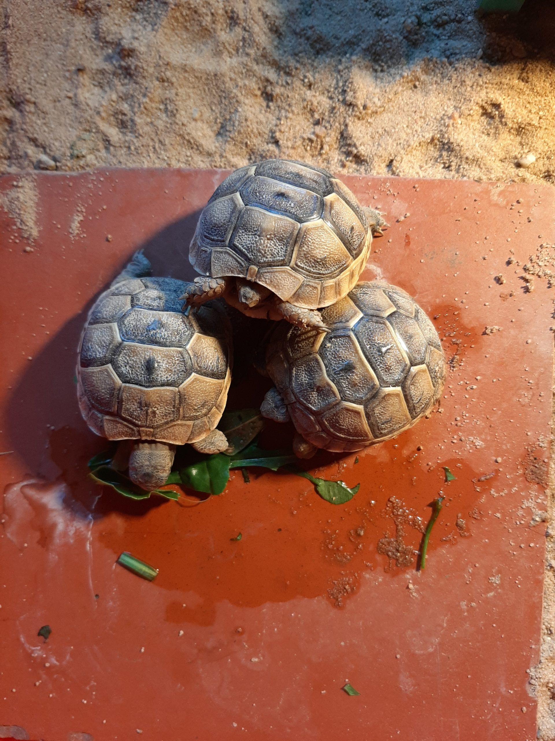 Maurische Landschildkröte Babys