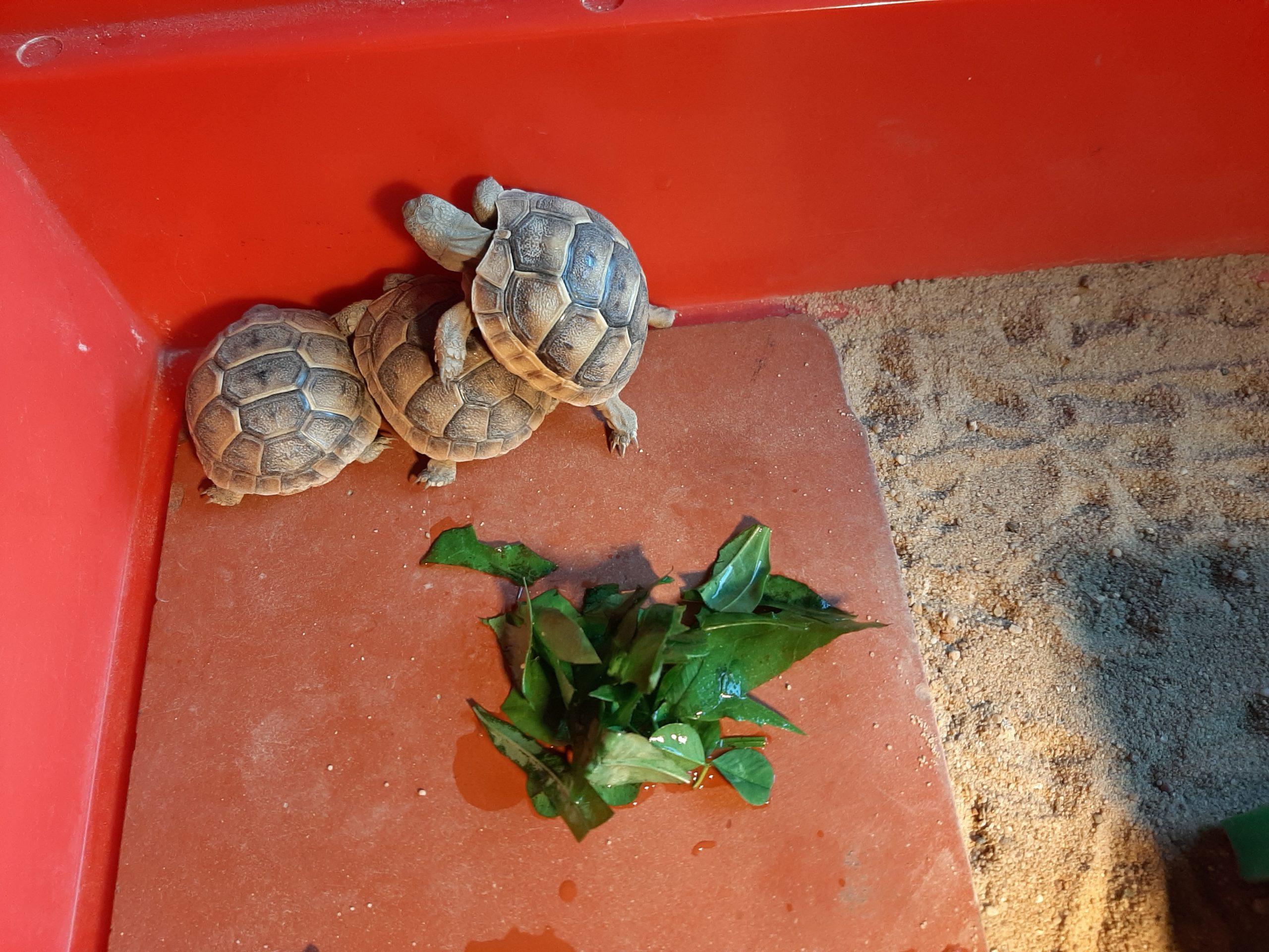Maurische Landschildkröten Nachzucht