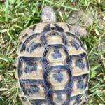 Griechische Landschildkröte vermisst in 70771 Echterdingen Stetten