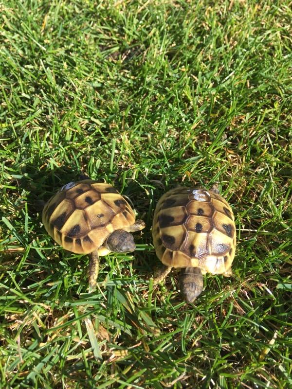 Momo und Morla (Griechische Landschildkröten) als Babys