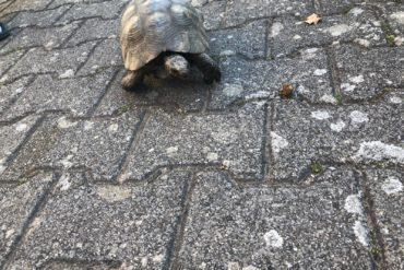 Landschildkröte in Stuttgart Plieningen gefunden 13.09.