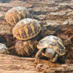 Griechische Landschildkröten Testudo Hermanni NZ 2020 zu verkaufen