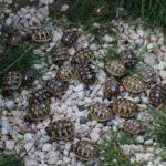 Griechische Landschildkröten und Breitrandlandschildkröten Nachzucht 2020 ab April 2021 abzugeben