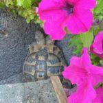 Griechische Schildkröte in Eppingen-Richen entlaufen