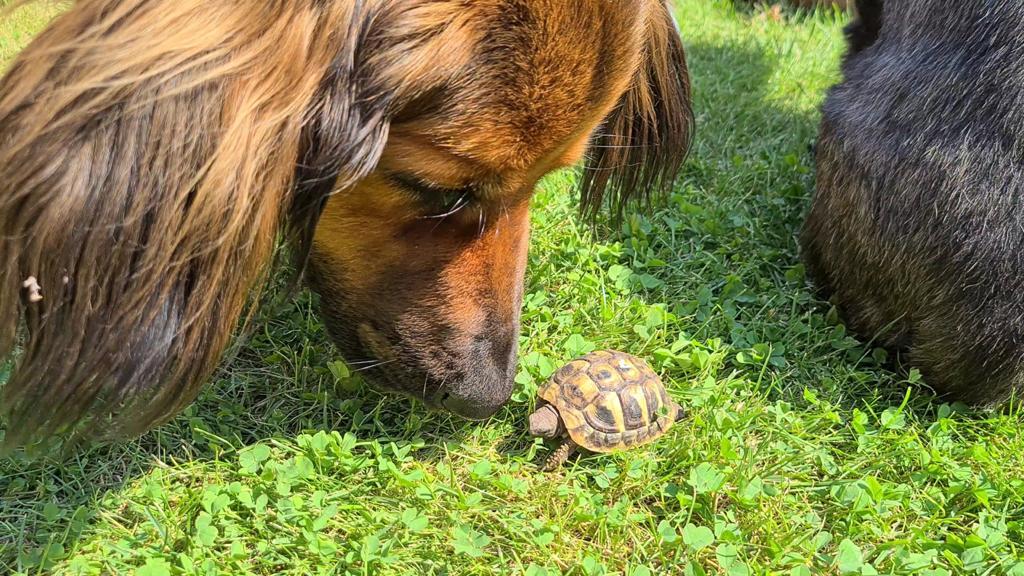 Freundliche Begrüßung der kleinen griechischen Landschildkröten-Neuankömmlinge