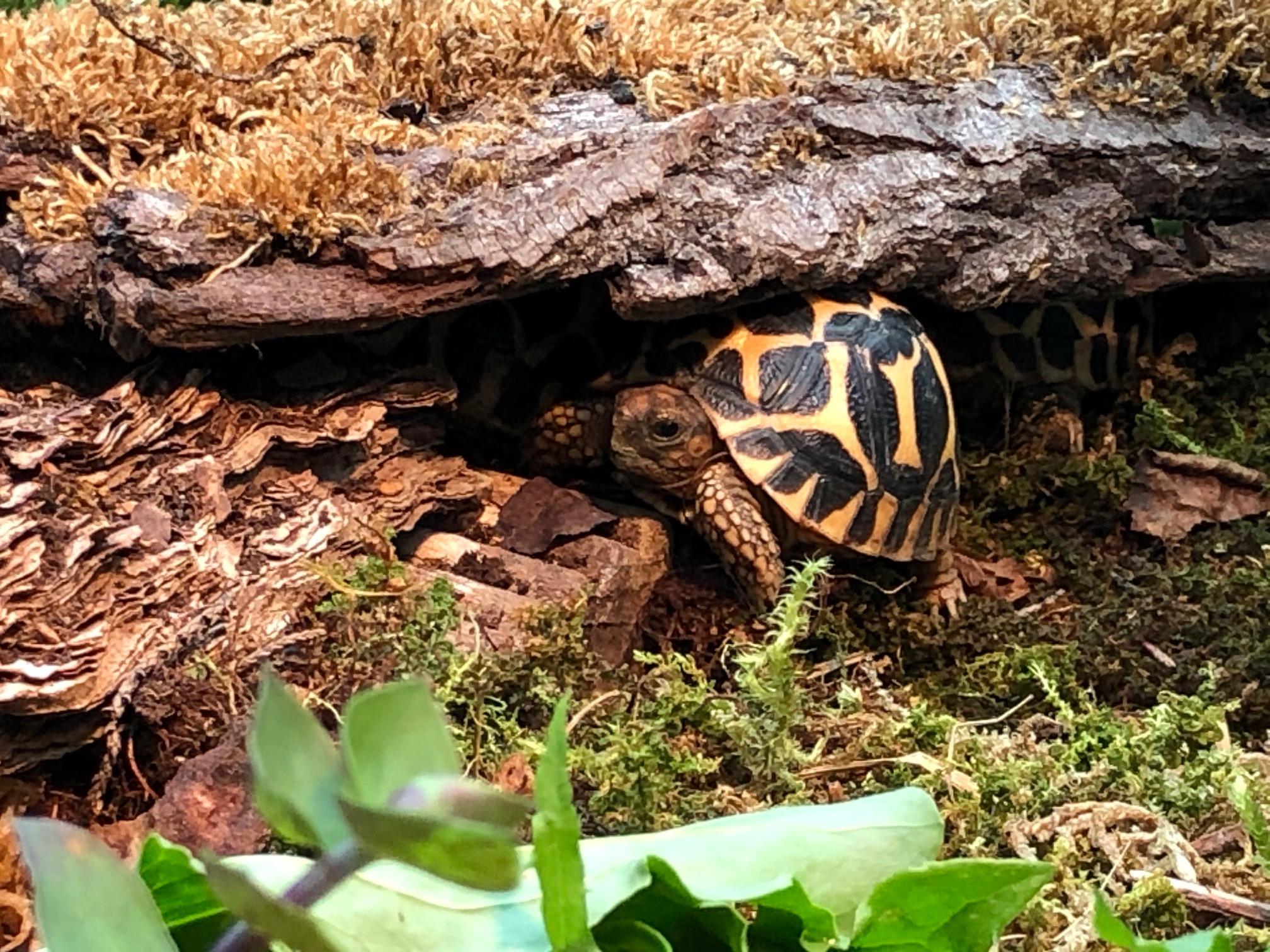 Junge Sternschildkröte
