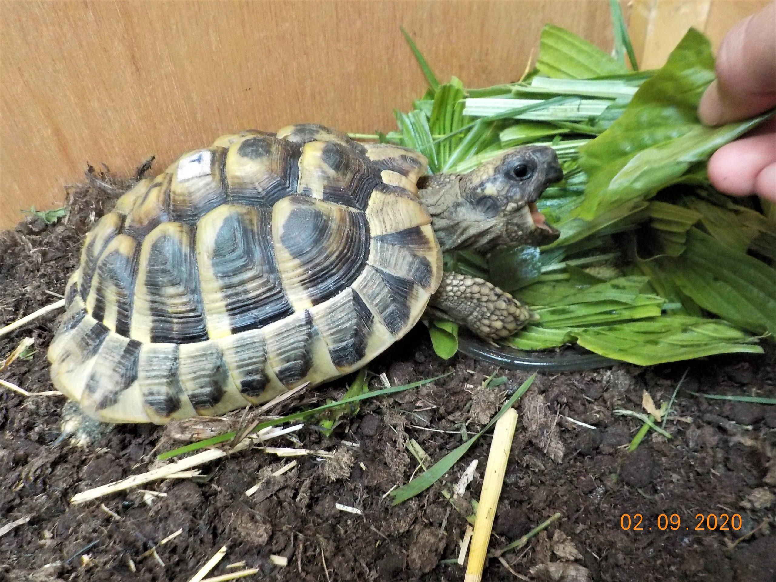 Meine lieblings Griechische Landschildkröte frisst aus meiner Hand