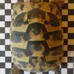 Schildkröte entlaufen 01920 Elstra