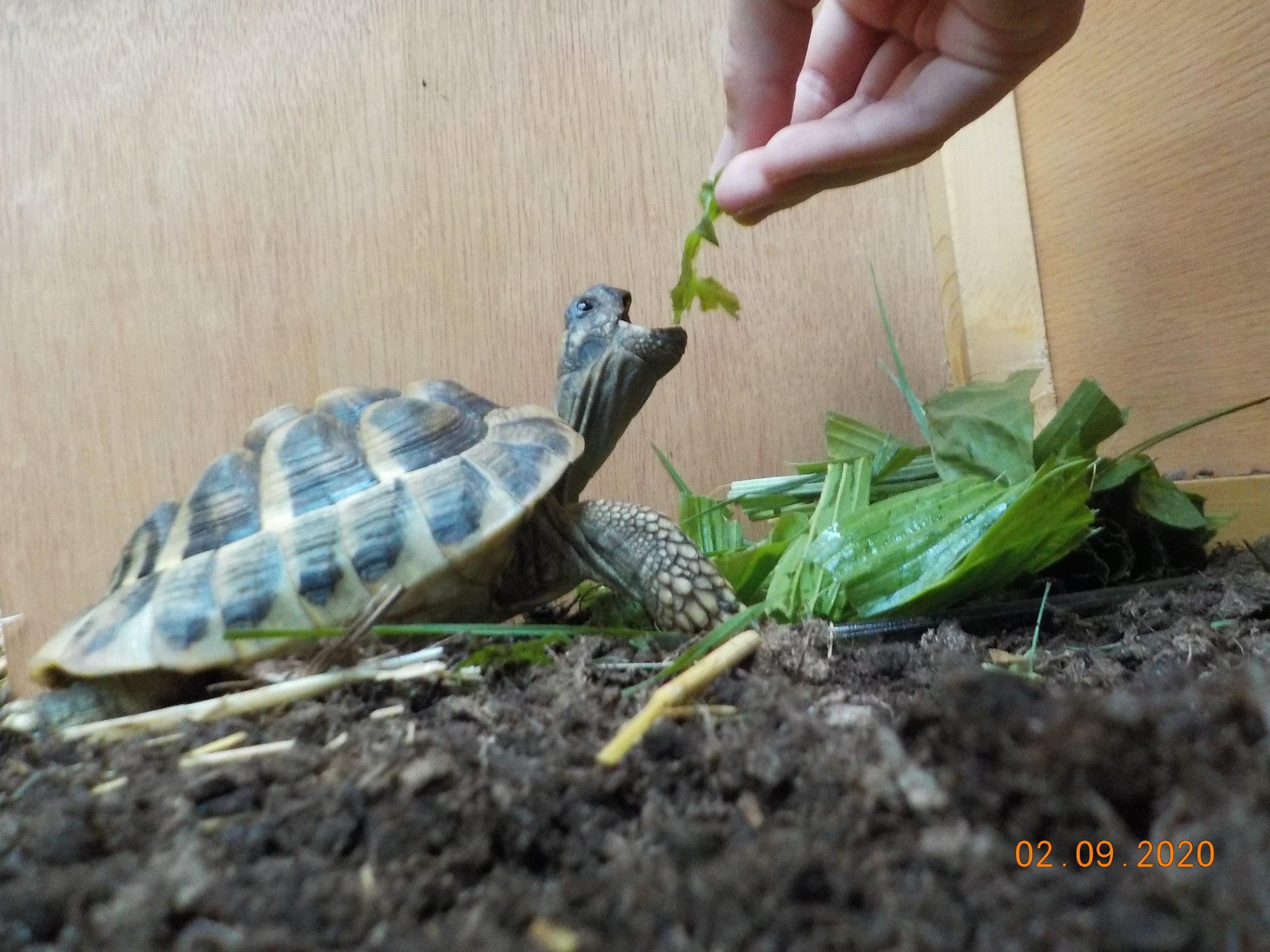 Die Griechische Landschildkröte Theodor wird gefüttert
