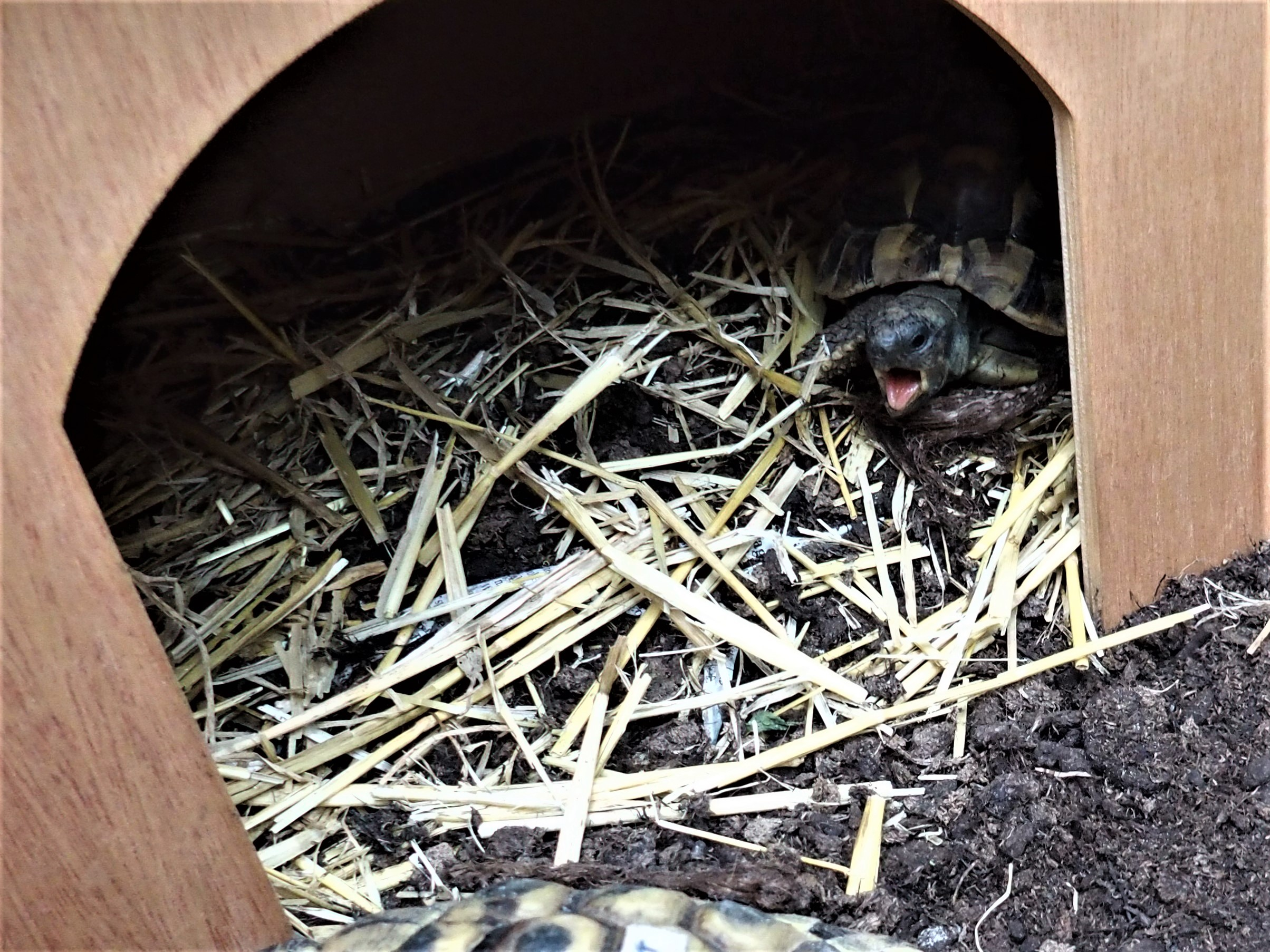 Griechische Landschildkröte aufgewacht