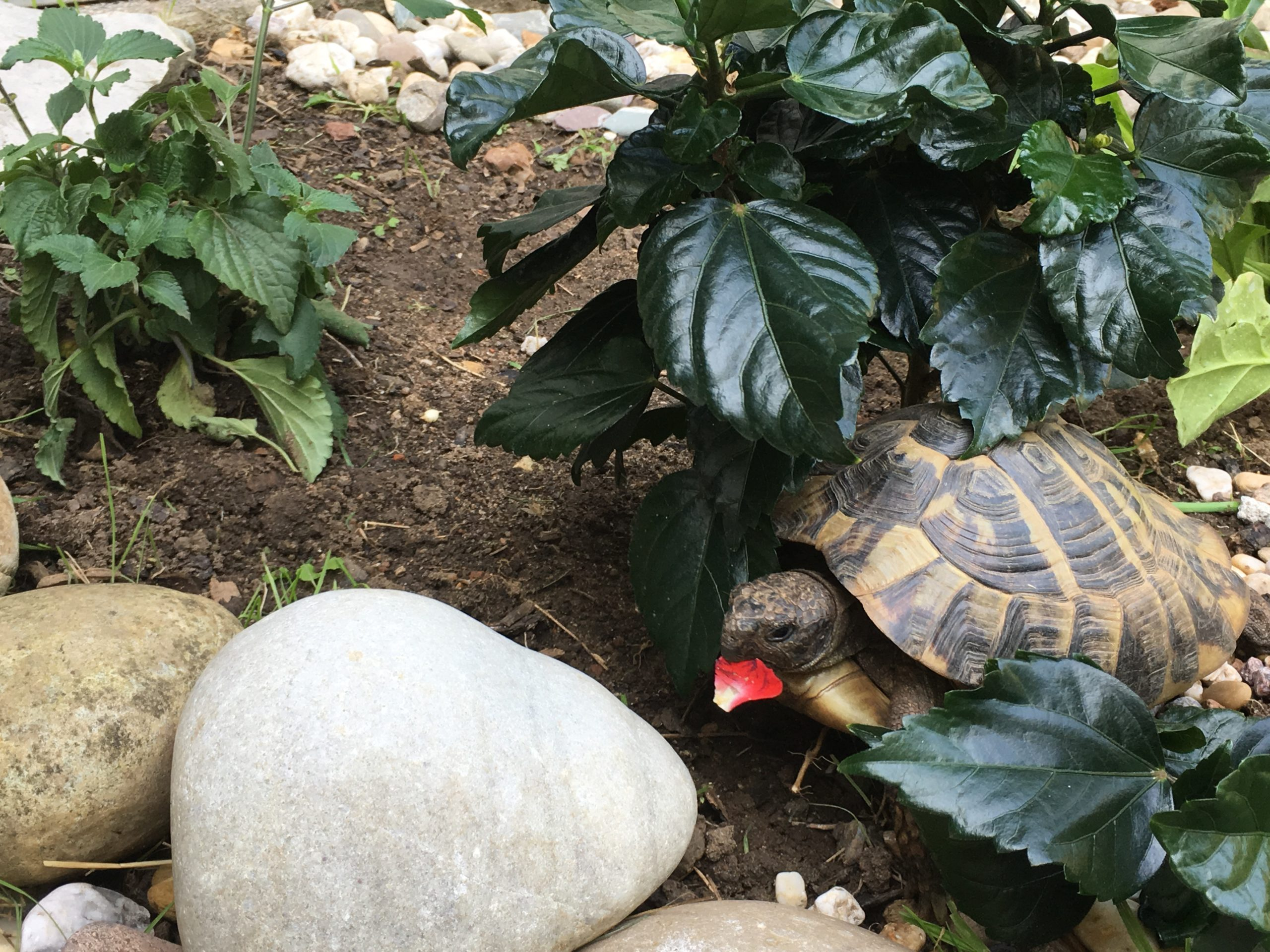 Griechische Landschildkröte Selene trägt ein Rosenblatt spazieren