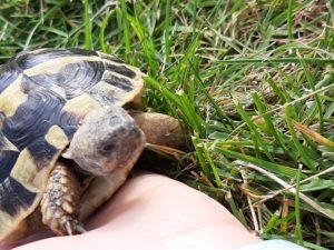 Grie. Landschildkröte im Garten