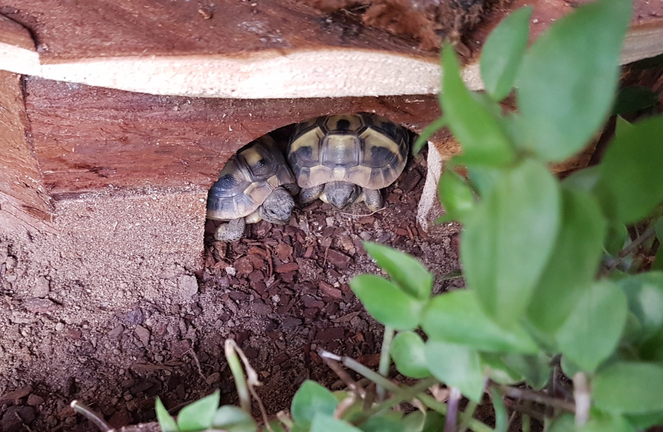 Guten Morgen! (Griechische Landschildkröten)