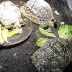 Griechische Landschildkröten NZ 2016, 2017 zu verkaufen